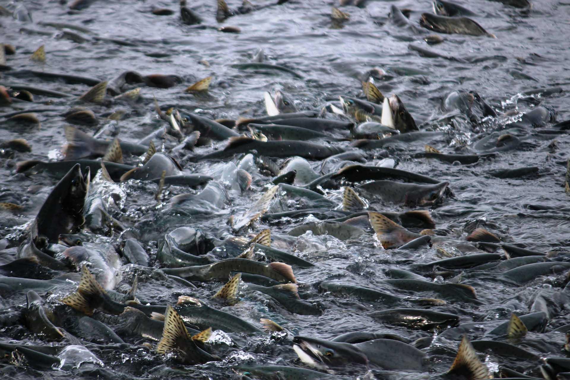 700.000 Lachse geflüchtet – nun ist das Ökosystem bedroht