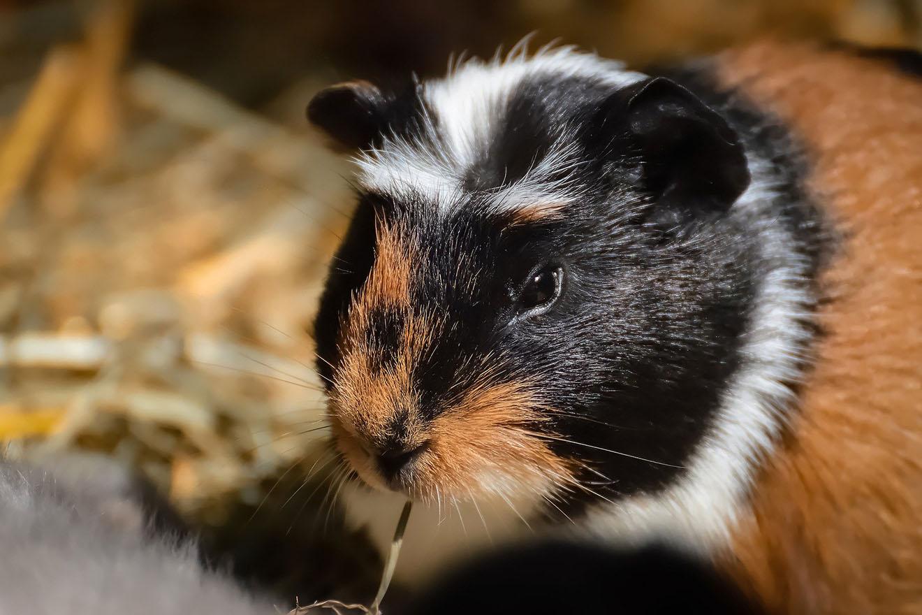 Nachwachsen können meerschweinchen zähne Haben wir
