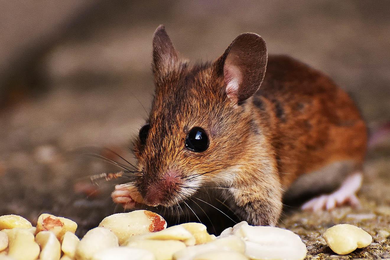Erfolg! Mutterkonzern von Obela Hummus beendet Tierversuche