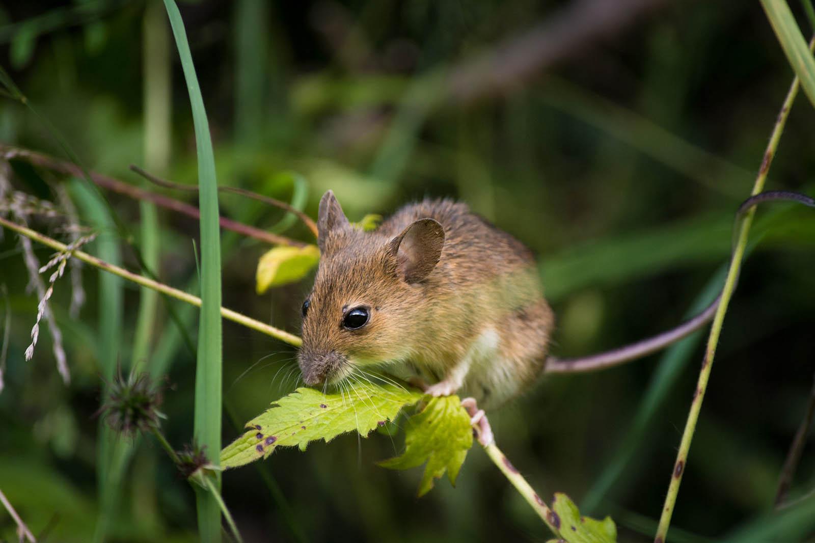 Ratten und Mäuse – 6 faszinierende Fakten über die Nagetiere