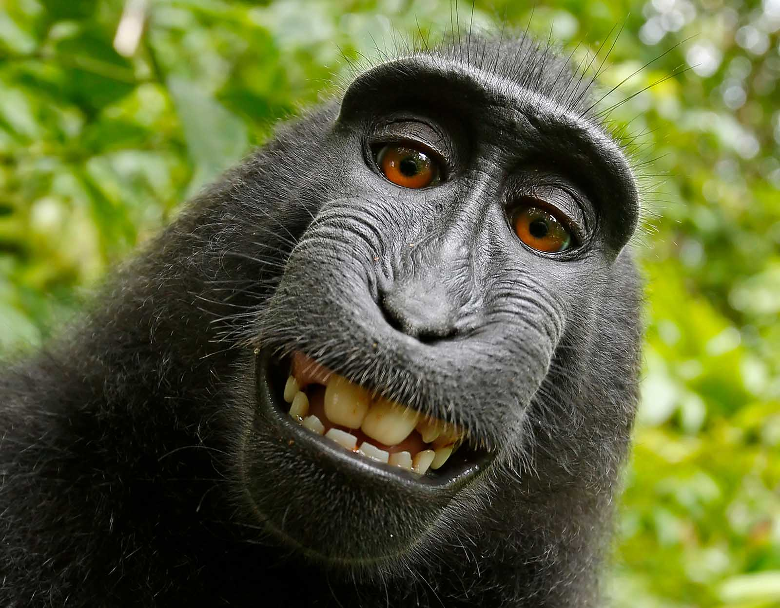 #MonkeySelfie – Ein Selfie wird zum Präzedenzfall für Tierrechte