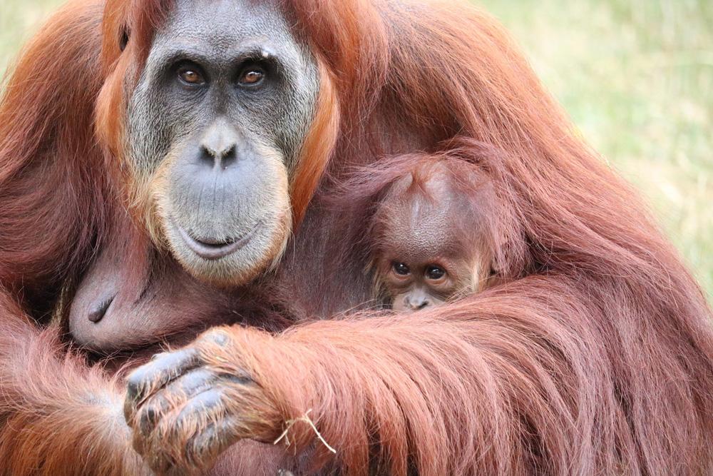 Totes Orang-Utan Baby Rima im Zoo Leipzig: War es COVID-19?