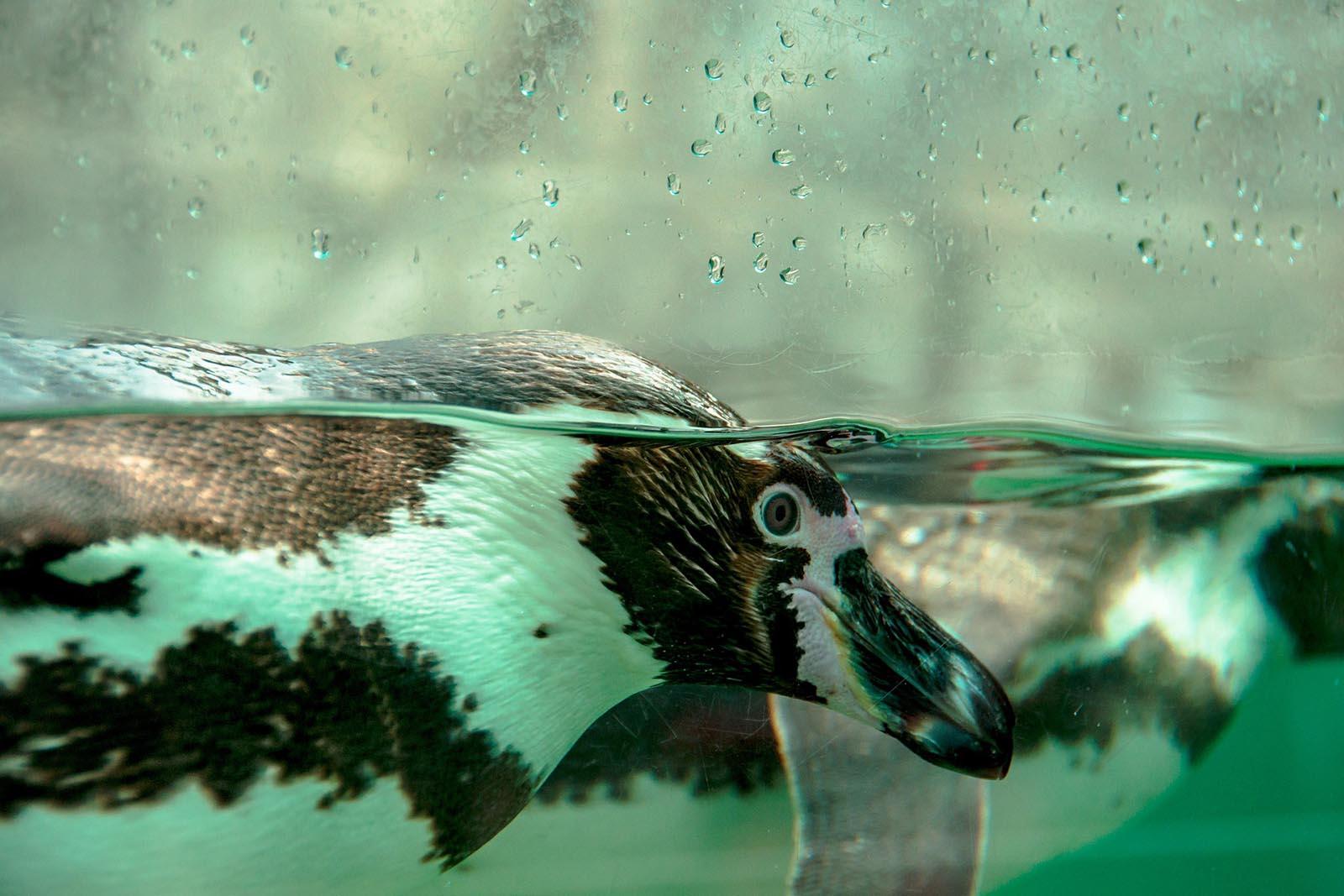 Pinguine in den Spreewelten: Helfen Sie, das Leid zu beenden!