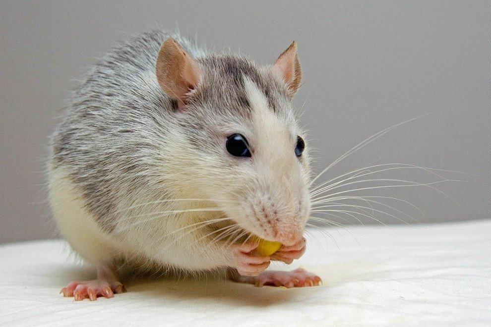 Ratte isst ein Korn