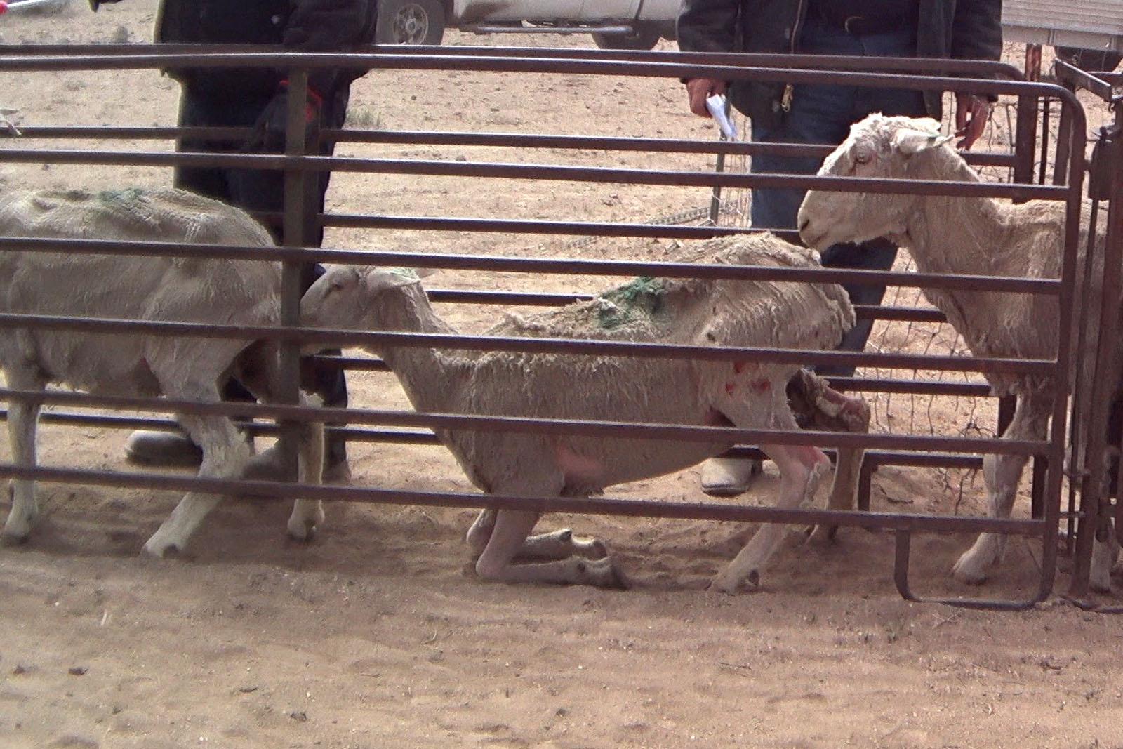 Schaf wunden