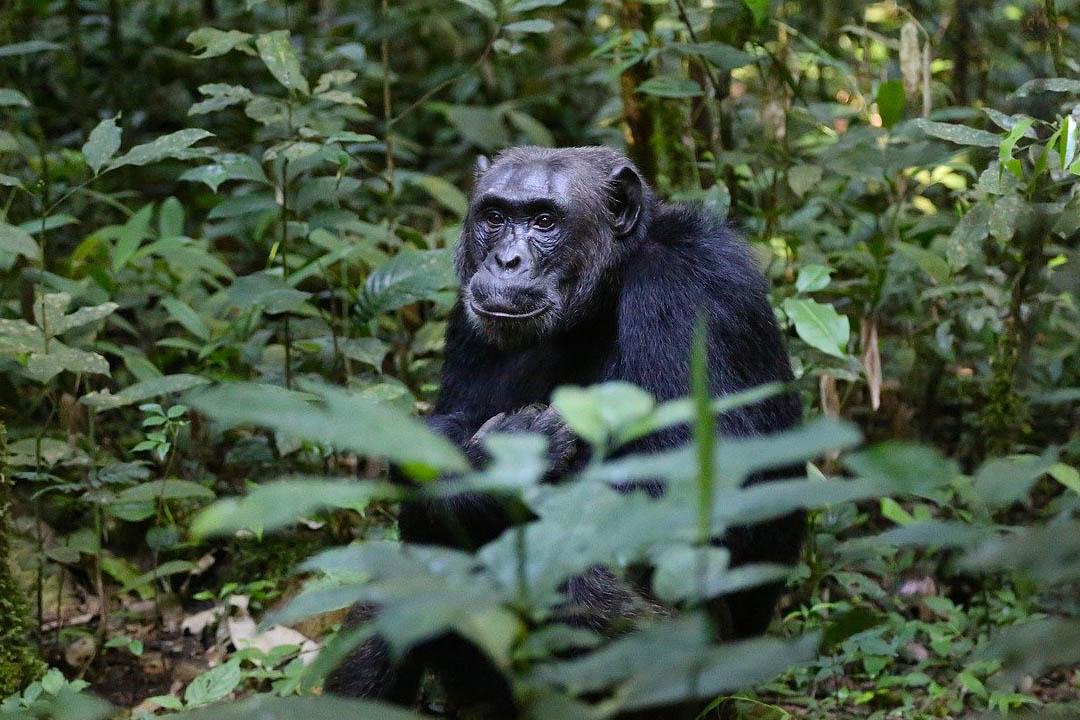 Schimpansen – 9 faszinierende Fakten über diese Menschenaffen