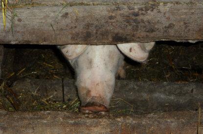 Schweineschnauze im Futtertrog