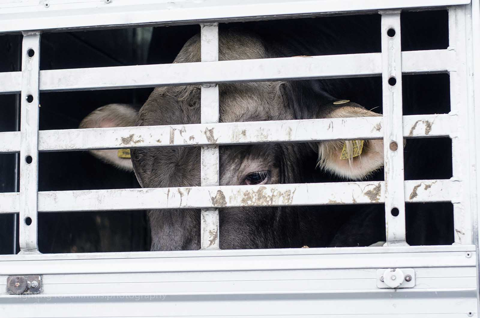 Kuh im Tiertransporter