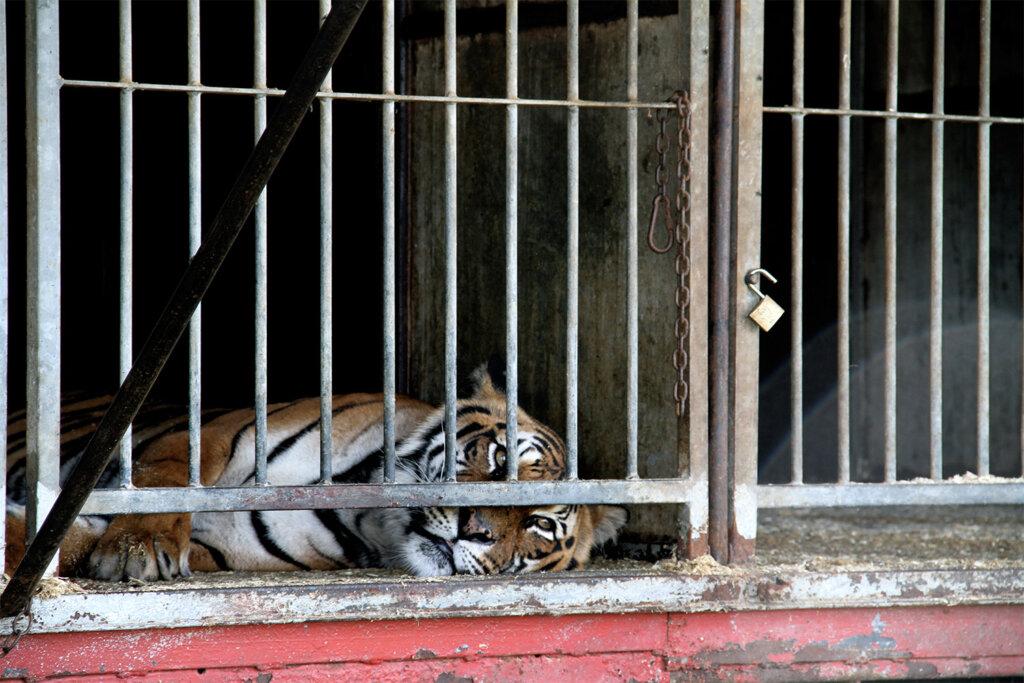 Tiger im Zirkuswagen