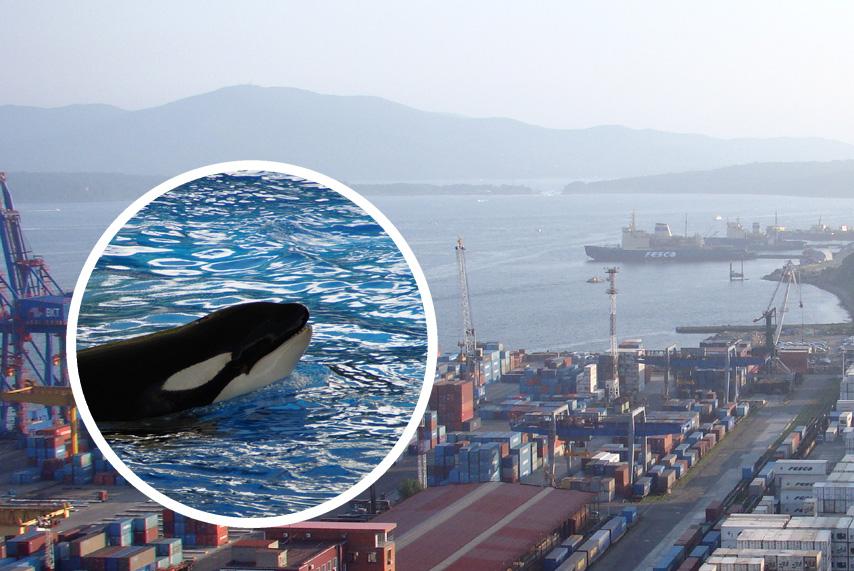 Petition: Sofortige Freilassung von 101 Walen in Russland