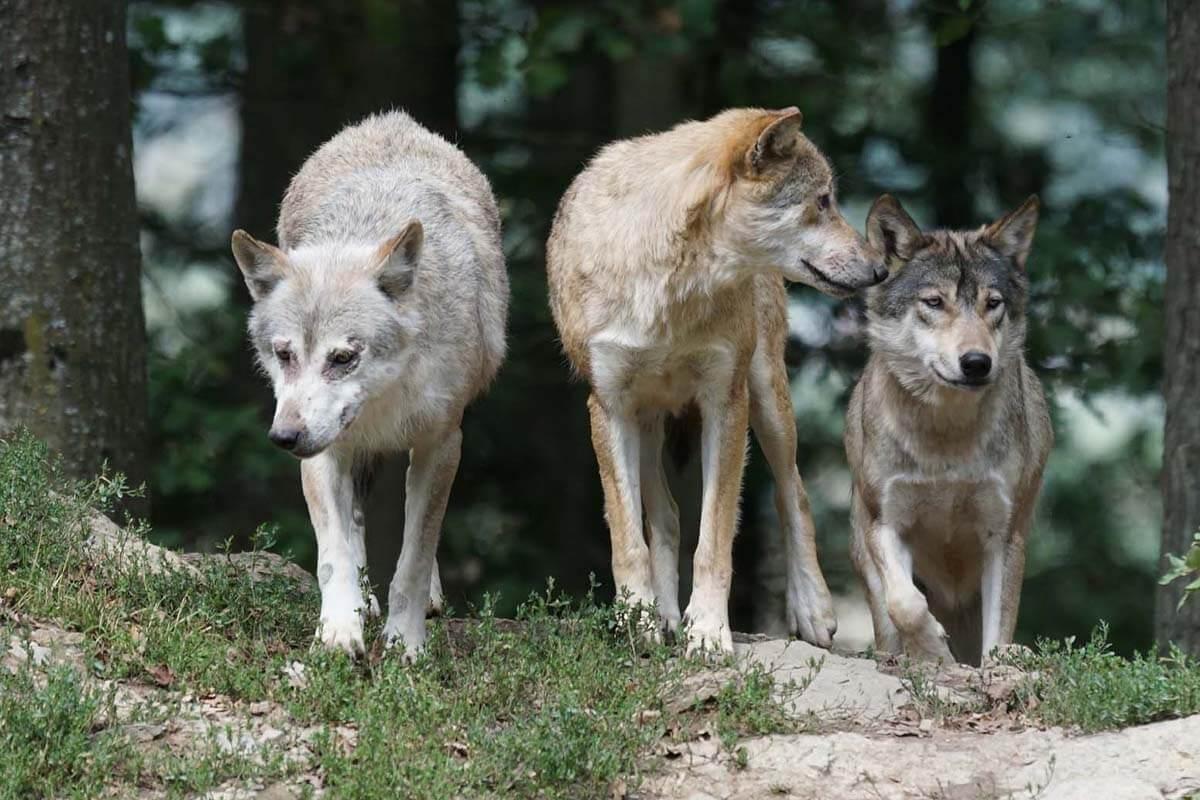 Wölfe schützen! Helfen Sie uns, die Jagd auf Wölfe zu verhindern