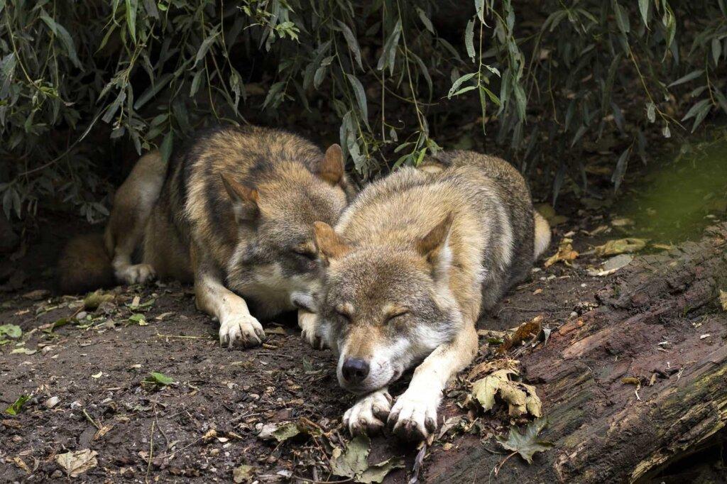 Zwei schlafende Wölfe