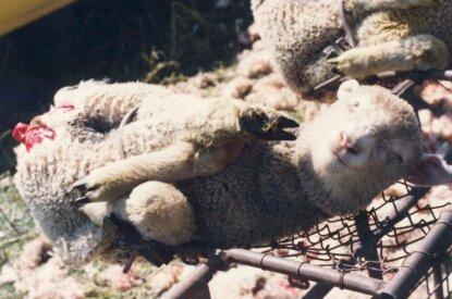 Gefesseltes Schaf mit abgeschnittenem Hinterteil