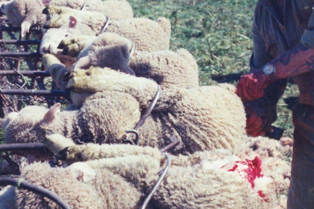 Mann schneidet Hautteile bei Schafe weg