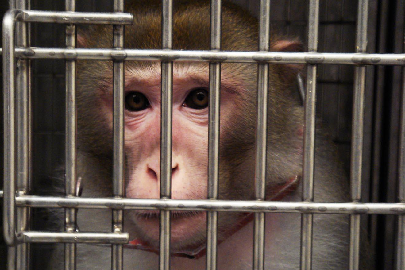 Affen müssen Gewichte heben – danach werden sie getötet und seziert