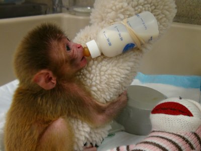 Tierversuche mit Affenbabys an den NIH