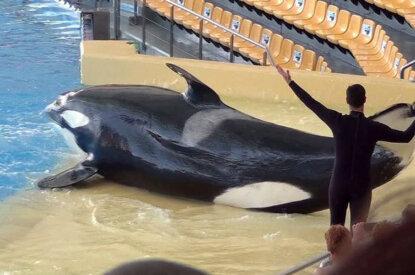 Orca bei einer Show im Delfinarium