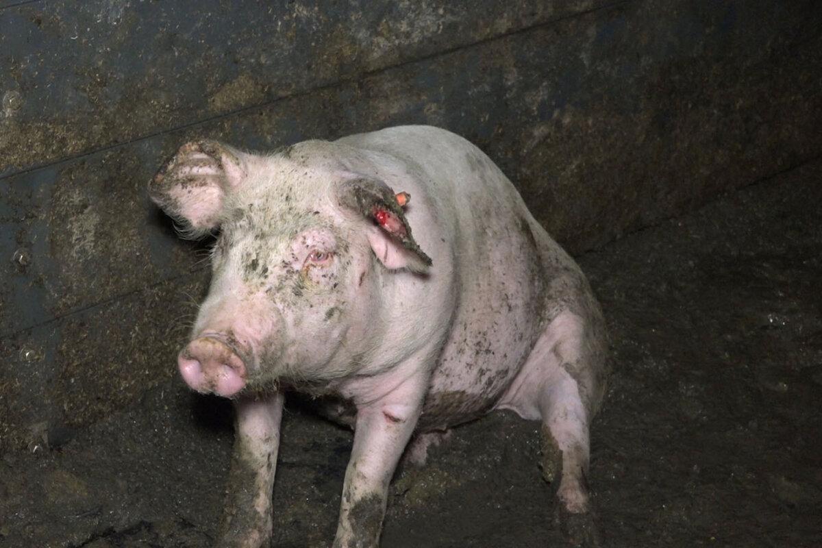 Schweinehaltung in Deutschland: So leiden Schweine für Fleisch