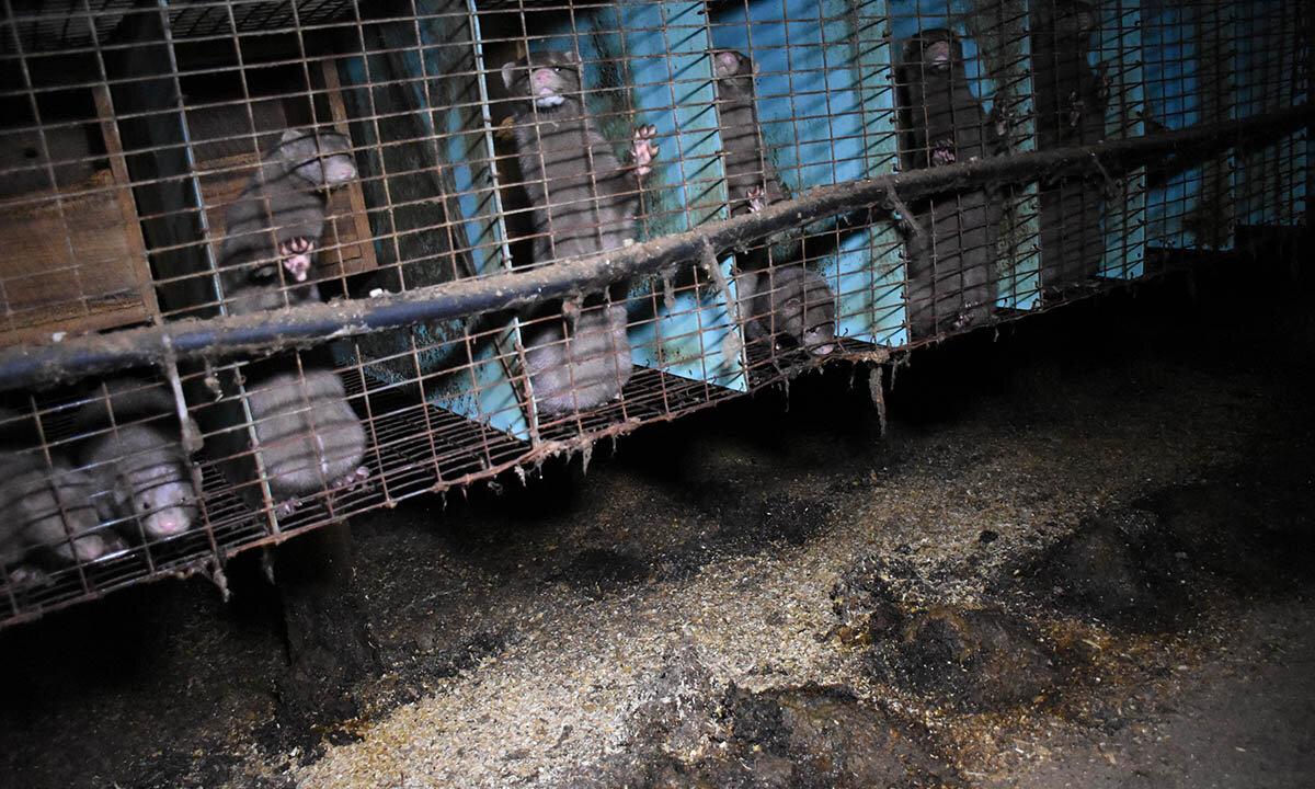 Nerze in Kaefigen einer Pelzfarm in Ontario Kanada