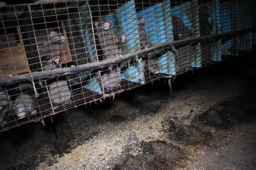 Pelzfarmen: Brutstätte für Viren – PETA fordert Verbot in der EU