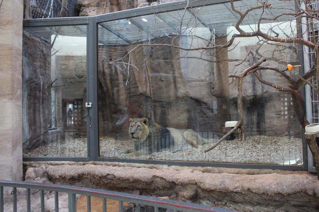 Loewe im Zoogehege