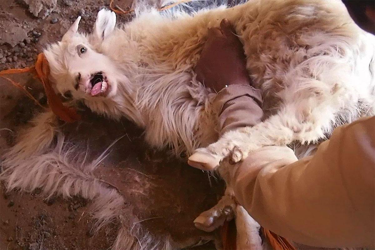 Ziege wird fuer Kaschmir gekaemmt