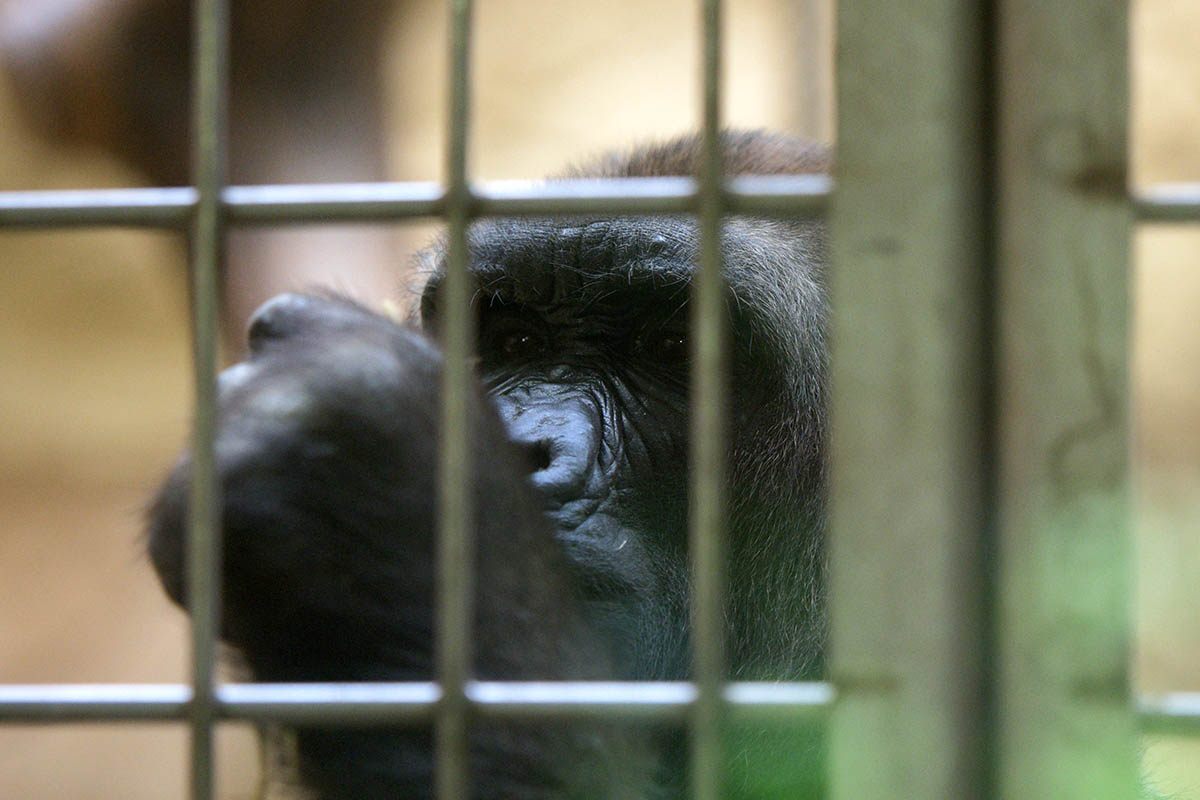 Gorilla im Zook Gehege