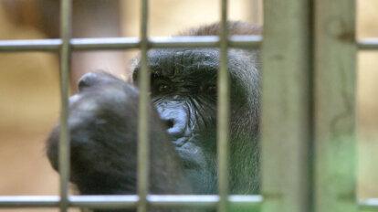 Gorilla im Zoogehege Duisburger Zoo