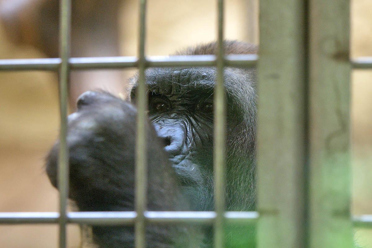 Nicht artgerecht: So beengt leben die Menschenaffen im Zoo Duisburg