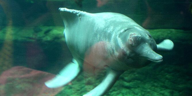 Flussdelfin im Zoobecken