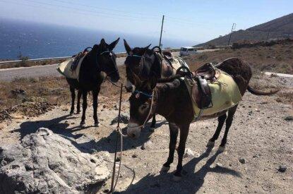 Esel auf Santorini