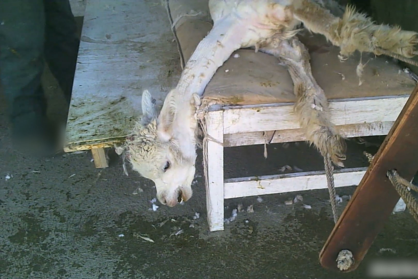 Alpakawolle: alles über die Qualzucht und grausame Schur