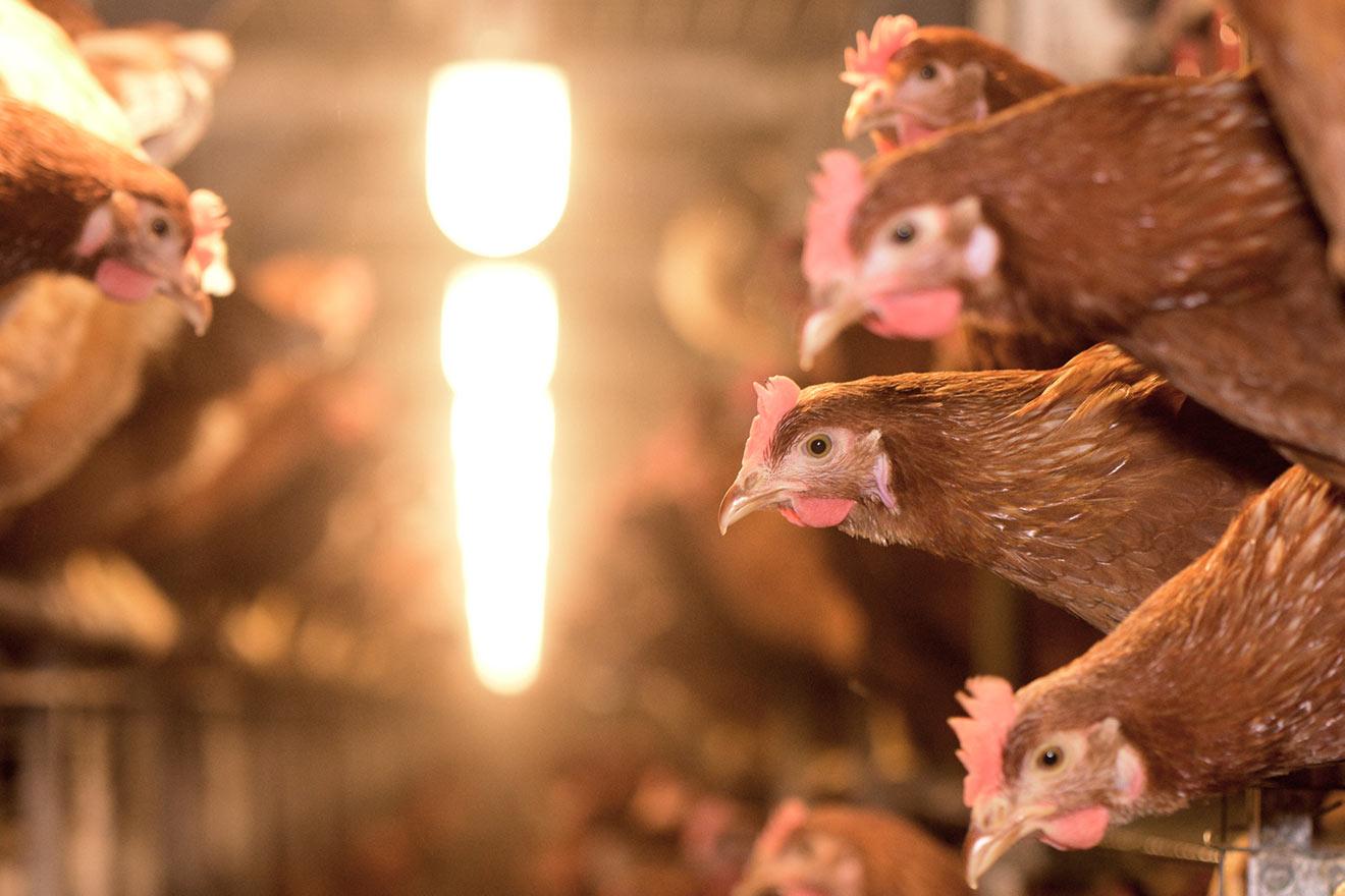 Knochenbrüche und Federpicken: Alltag in der Eierindustrie