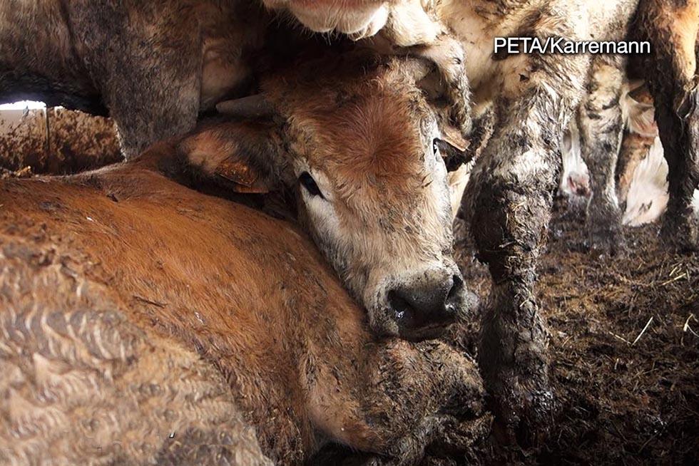 Kuh liegt im Dreck in einem Transporter