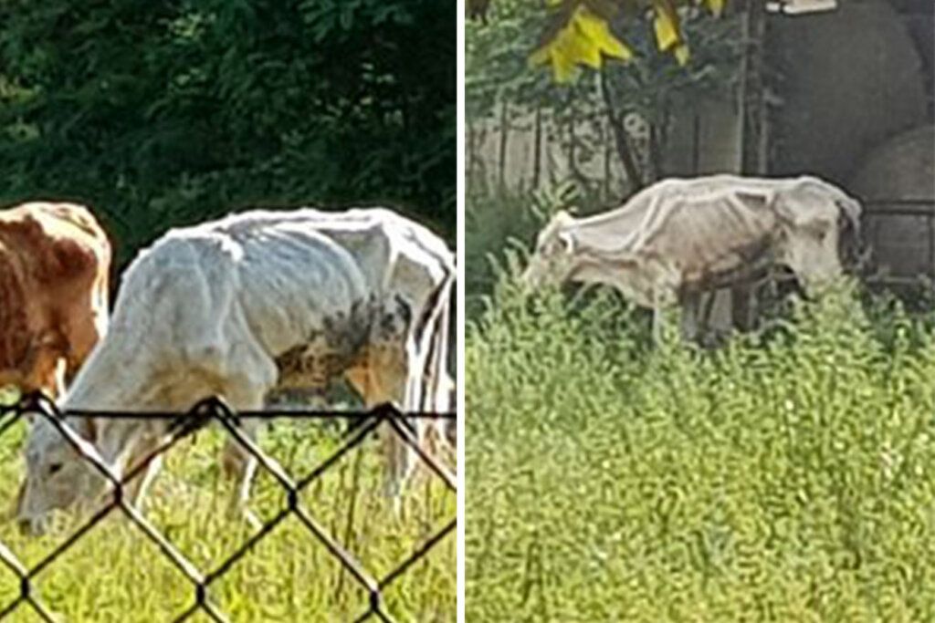 abgemagerte Kühe