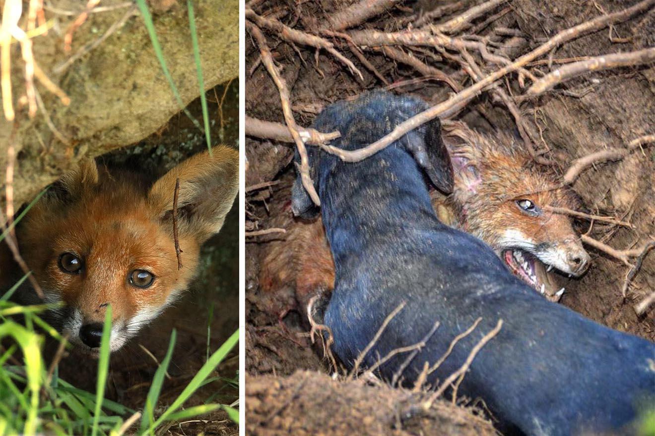 Jungfuchsjagd: So kaltherzig planen Jäger das Töten von Tierkindern