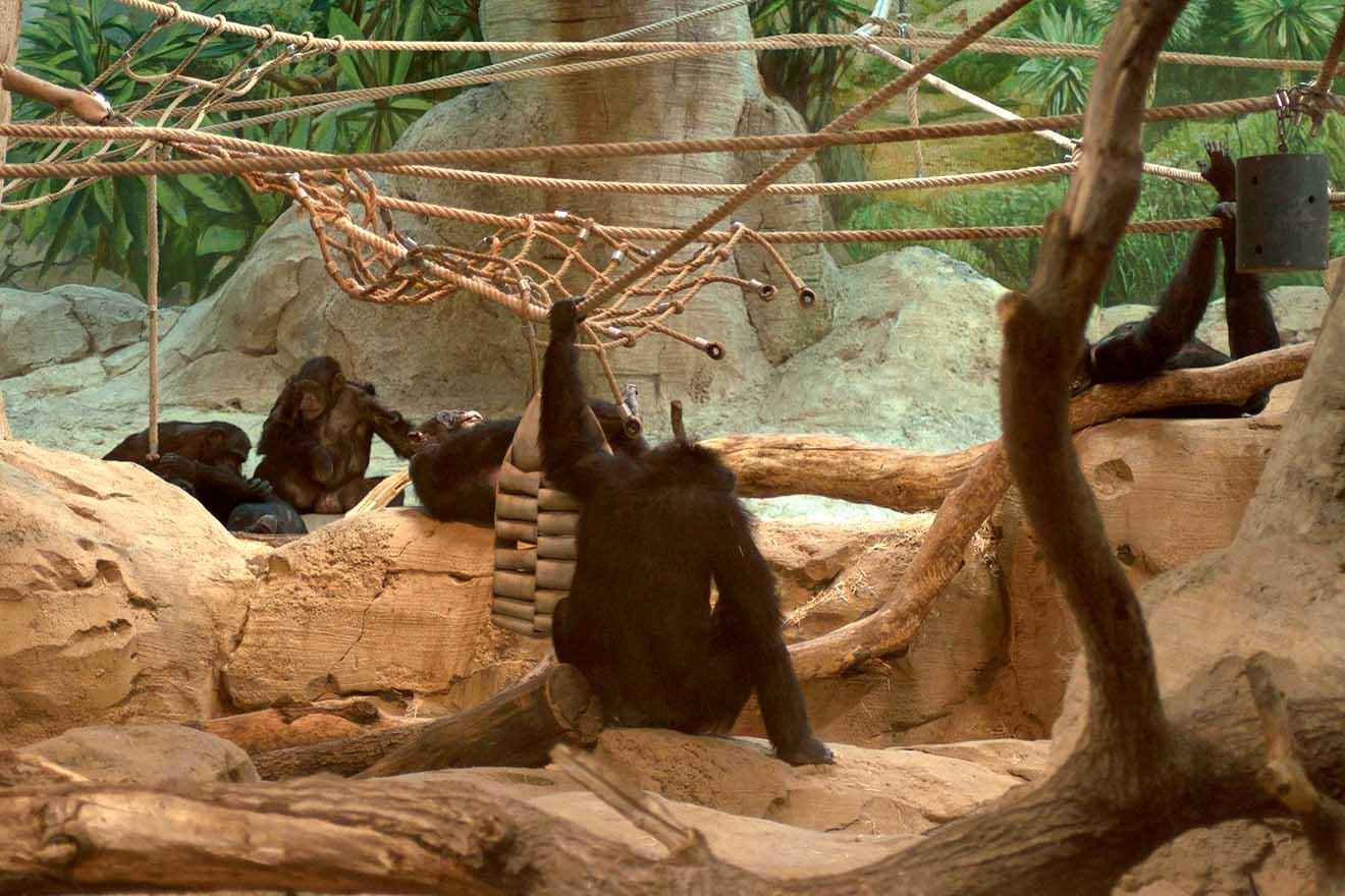 Zoo Bremerhaven: Diese 7 Schimpansen leiden in Gefangenschaft