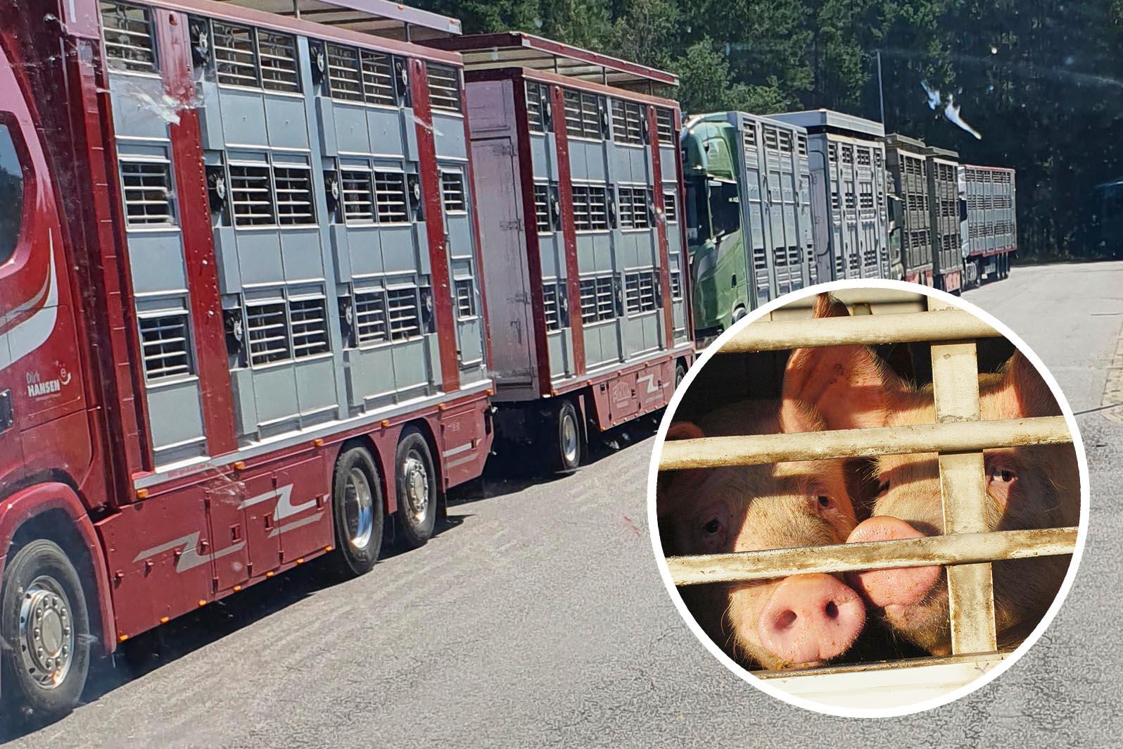 Schweine leiden unter Hitze: Tierquälerei bei VION