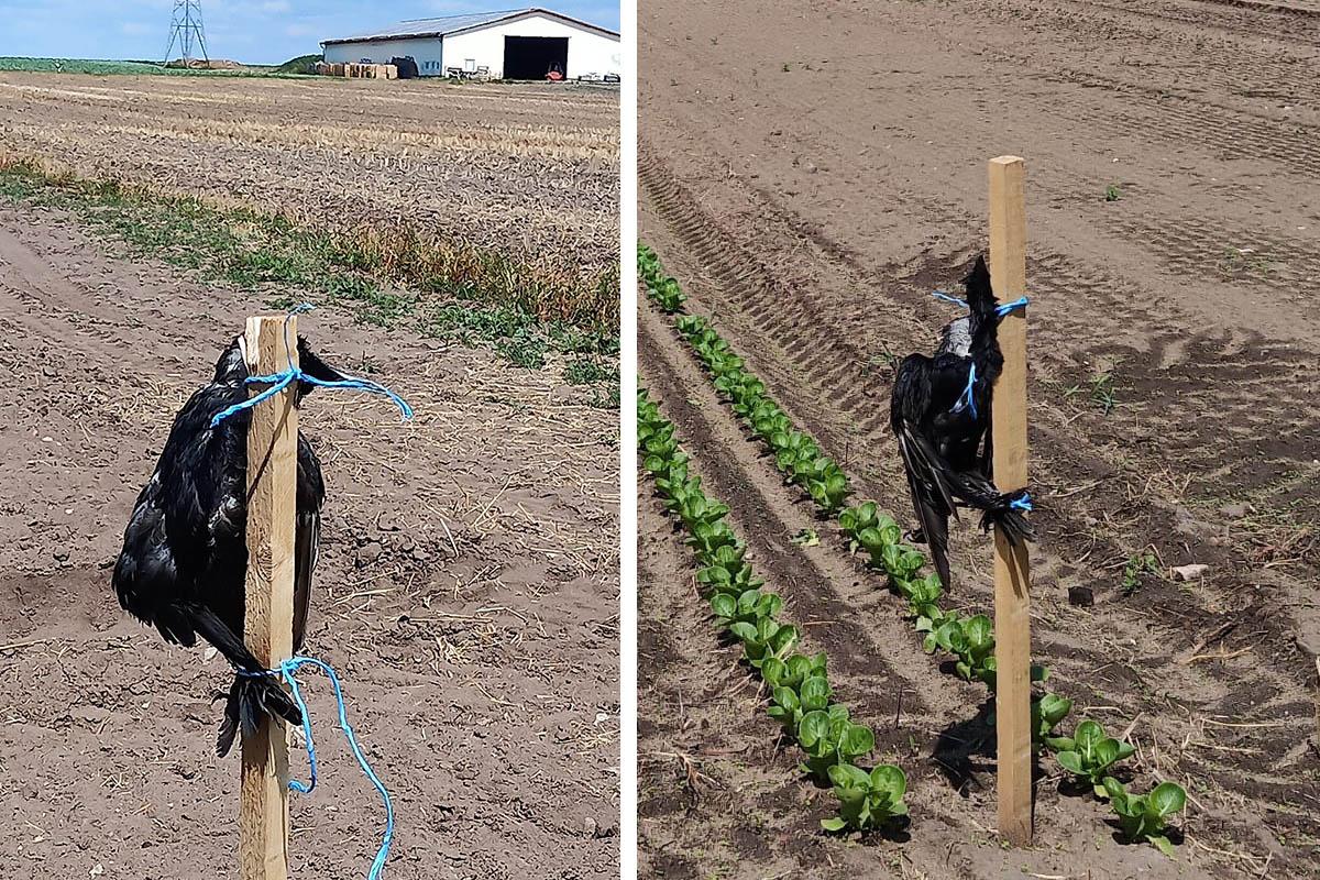 Tierquälerei: Bauer hängt tote Krähen zur Abschreckung in Feld auf