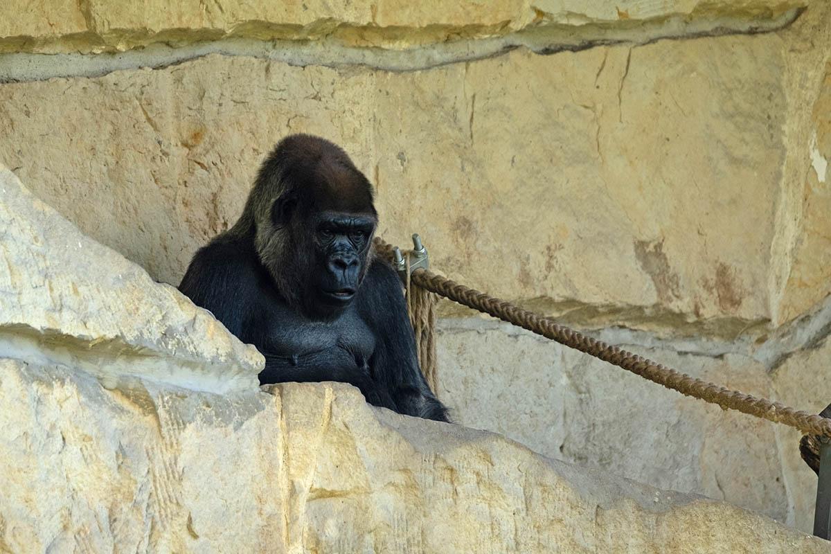 Zoo Berlin – einsame Gorilla-Dame, verstoßene Affenbabys