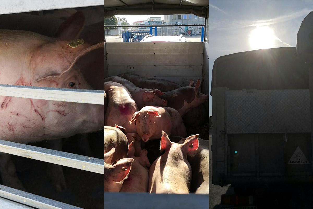 Regio Schlachthof Mannheim: Verletzte Schweine und Hitzetransporte