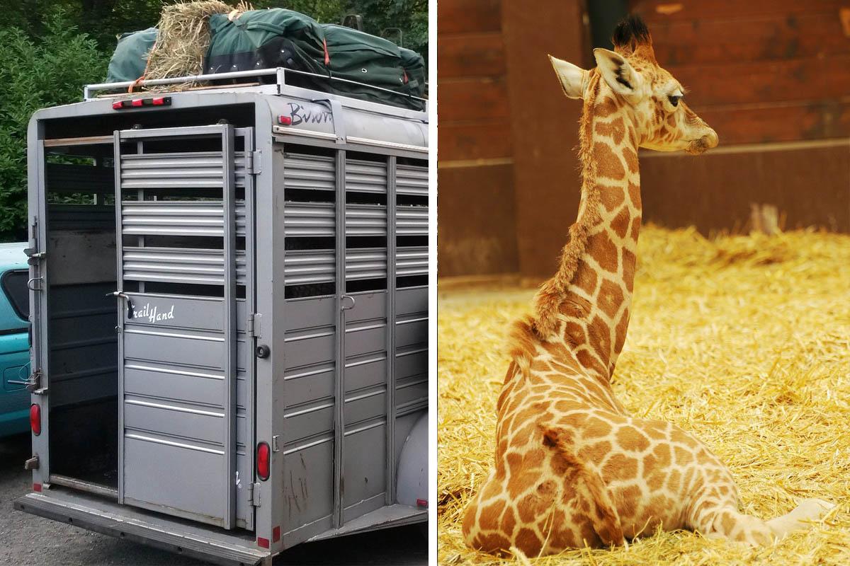 Tiertransporte für Zoos: So sehr leiden Tiere bei Transporten
