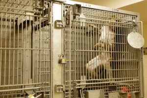 Pavian im Kaefig im Tierversuchslabor