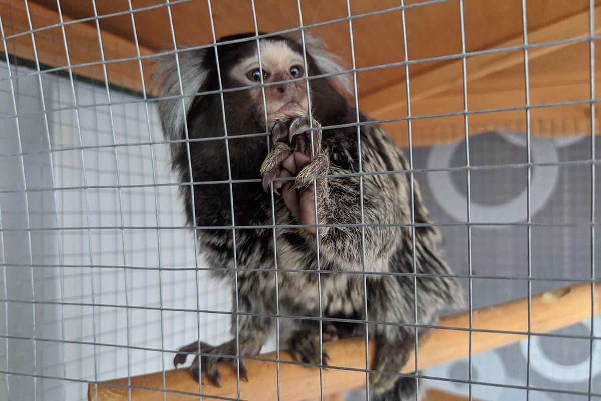 Affen kaufen und als Haustier halten: Warum das Tierquälerei ist