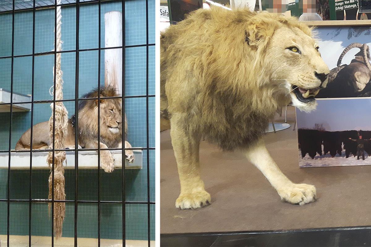 Zoos verkaufen Löwen und Großkatzen für Trophäenjagd in Afrika