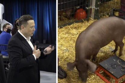Elon Musk und Schwein Collage