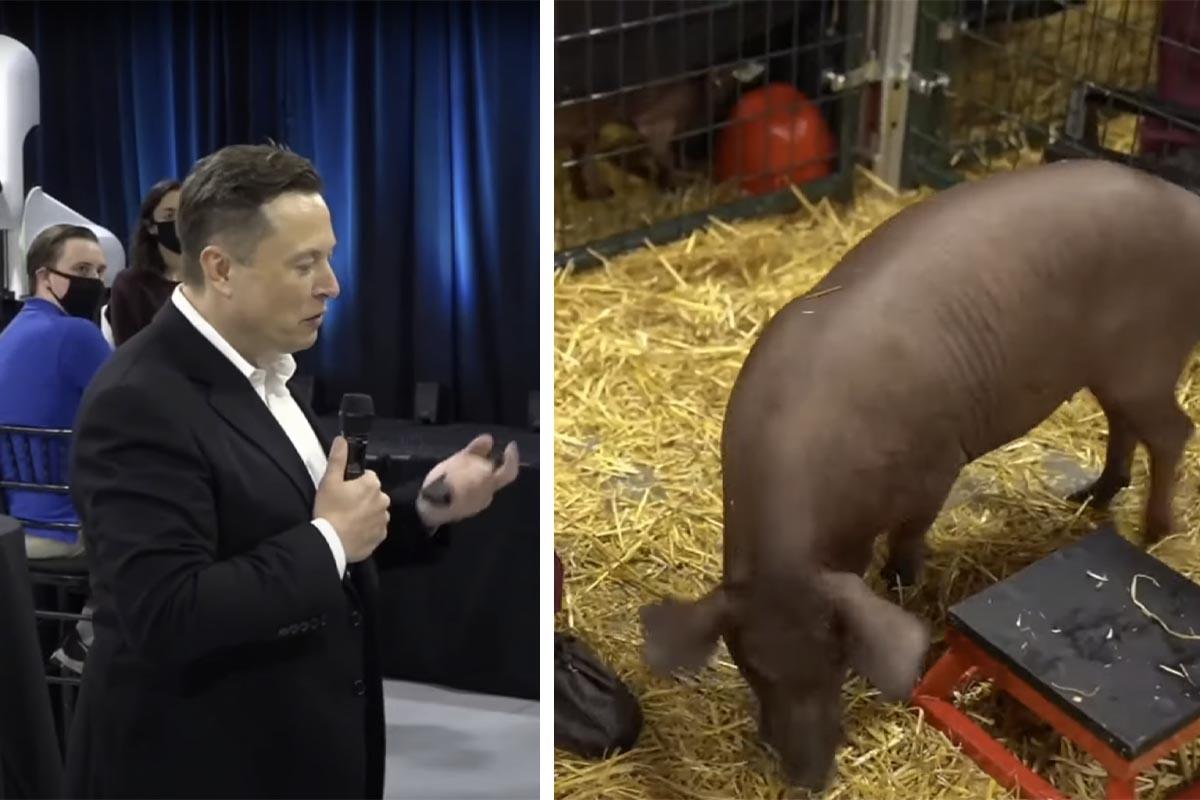 Elon Musk, pflanzen Sie sich Ihre Chips doch selbst ein und lassen Sie Schweine in Ruhe