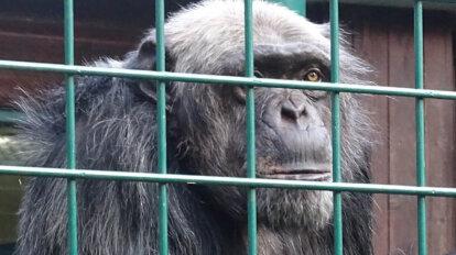 Affe im Tiergarten hinter Gitterstaeben