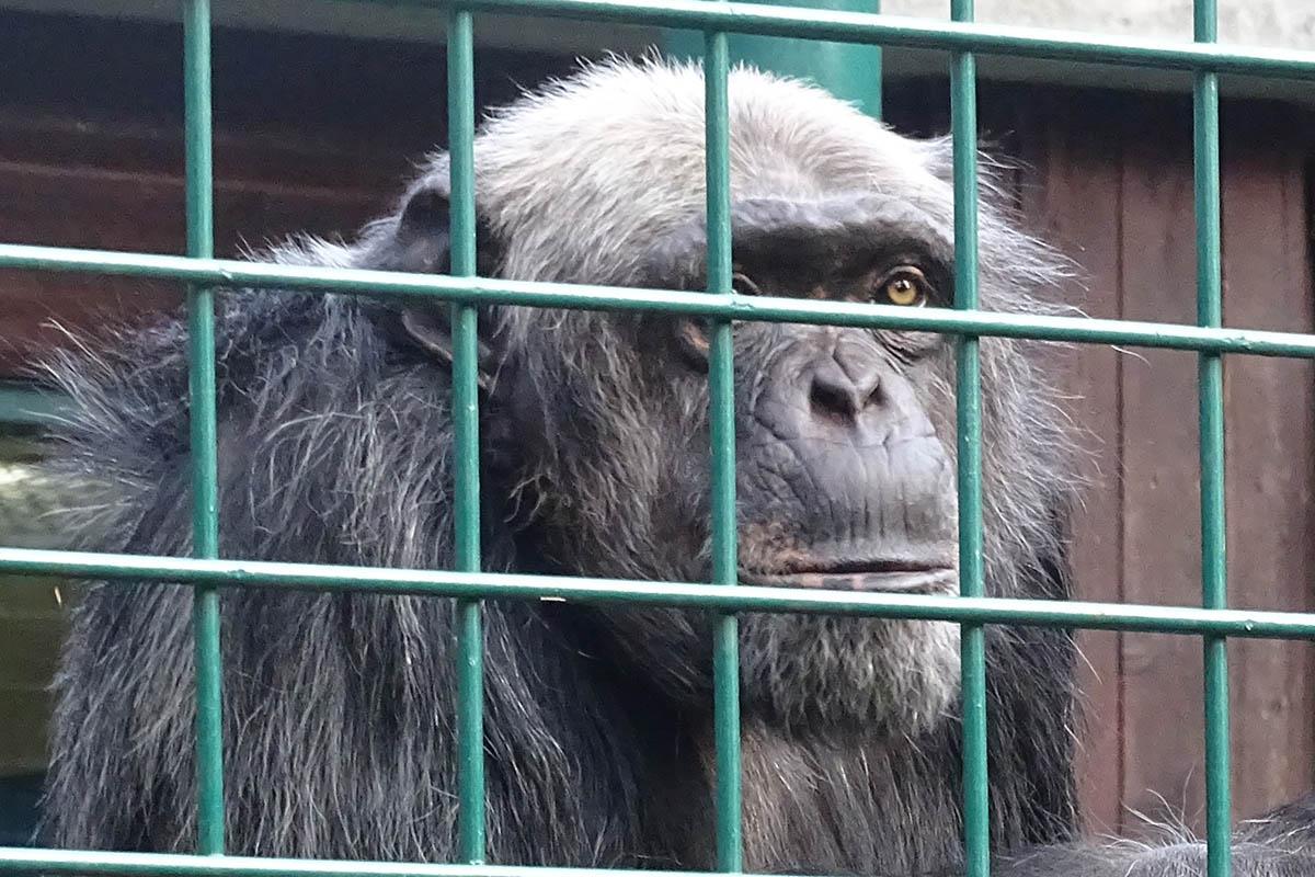 Schimpanse Lutz wieder unter Artgenossen: Tiergarten Straubing beendet Haltung