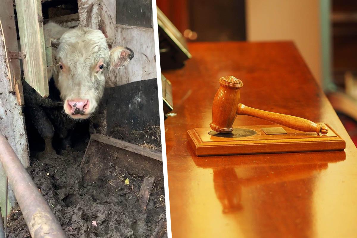 Tierquäler verurteilt: Landwirt nach PETA-Strafanzeige bestraft
